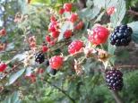 berries 090