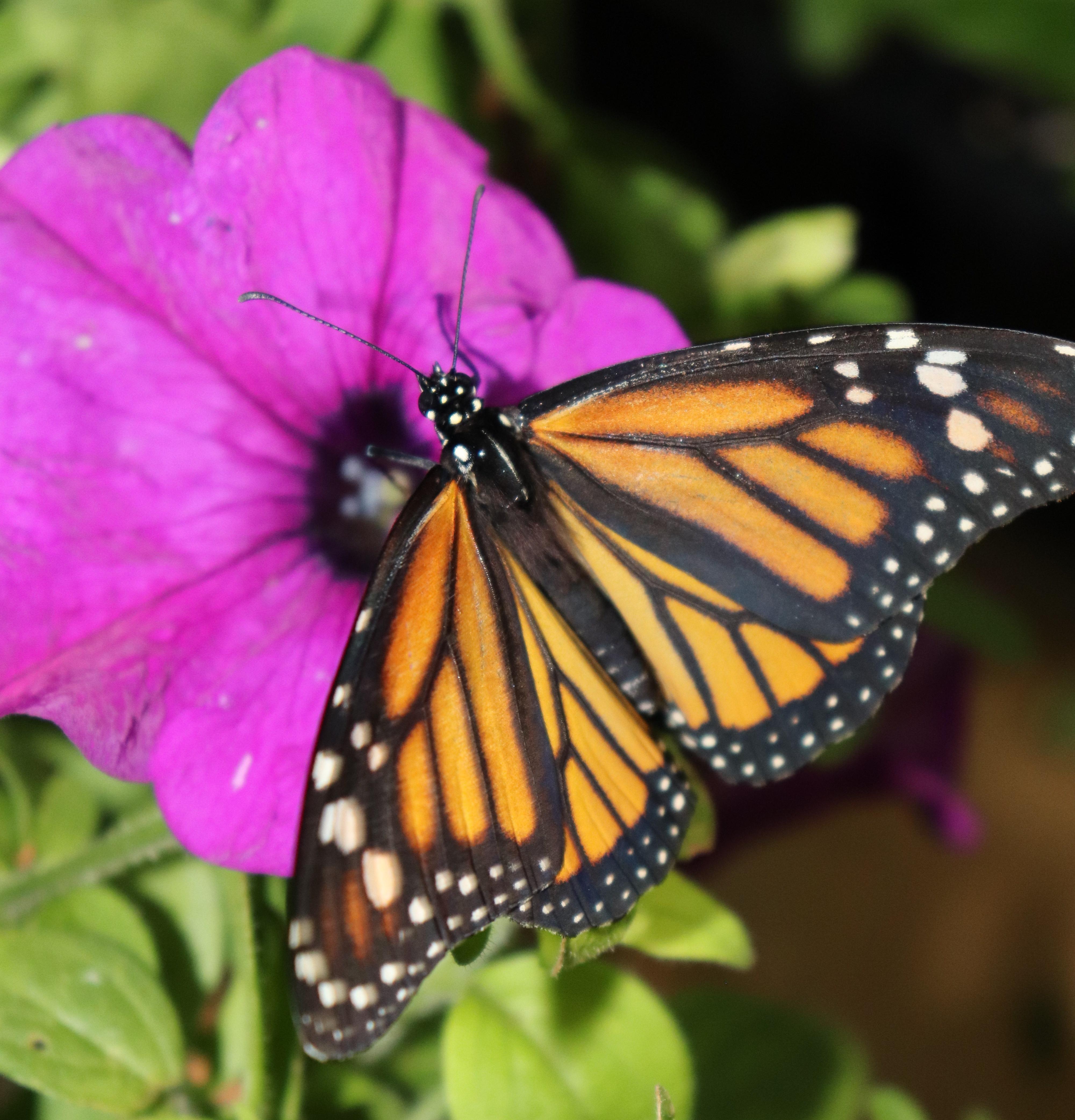 monarch 559