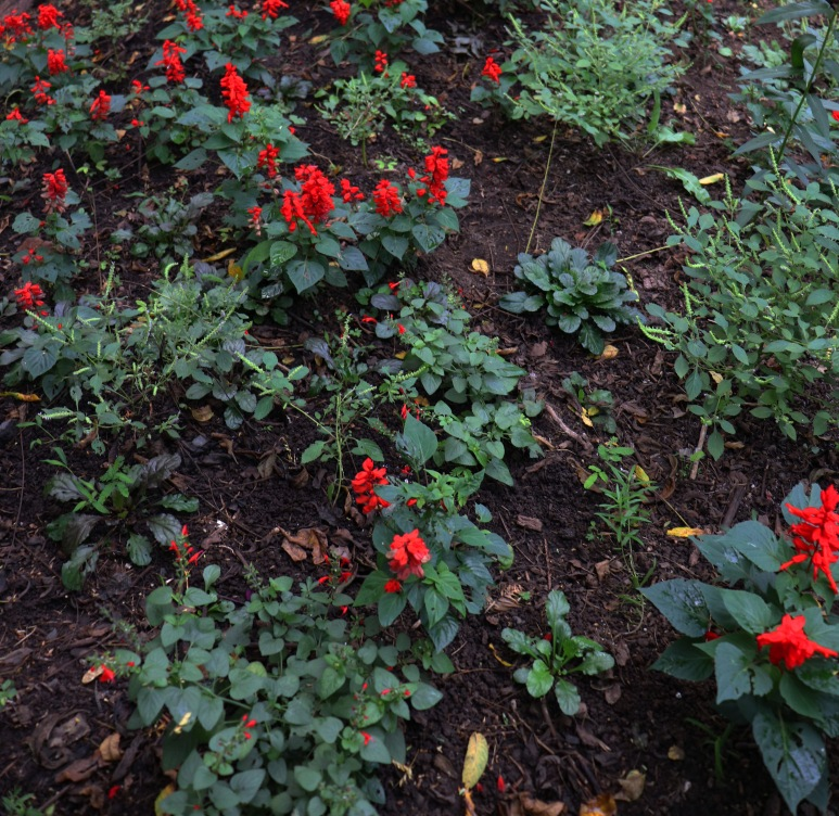 red Salvia in The Gothic Garden