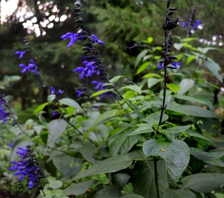 Black and bloom Salvia in the Gothic Garden