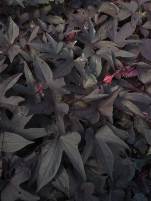 Black sweet potato vine in the Gothic Garden