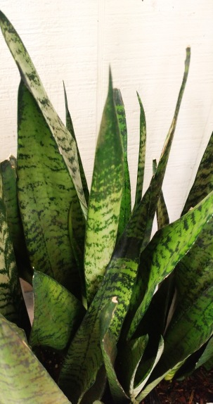 Snake plants add intrigue to a Gothic garden, and as indoor plants they help purify the air