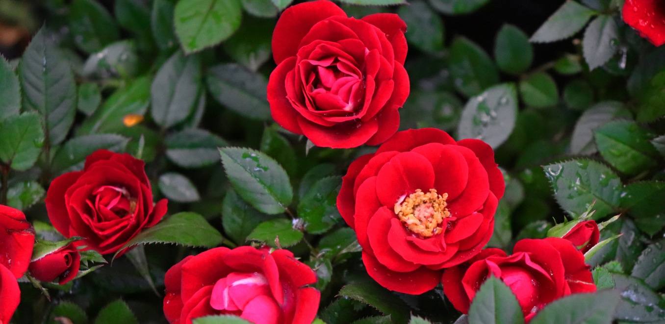 red roses are a classically beautiful addition to the Gothic Garden, opt for ones with less petals and more anthers and pollen in the middle for pollinators