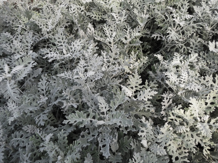 Dusty miller, a velvety gray branched plant creating a stunning and enchanted feel to the Gothic Garden
