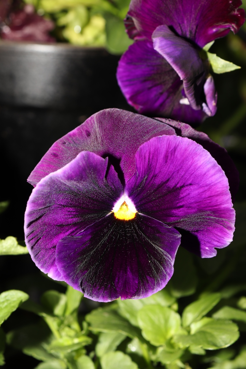 purple blotch pansies range from a striking violet to almost entirely black, each flower is a little different