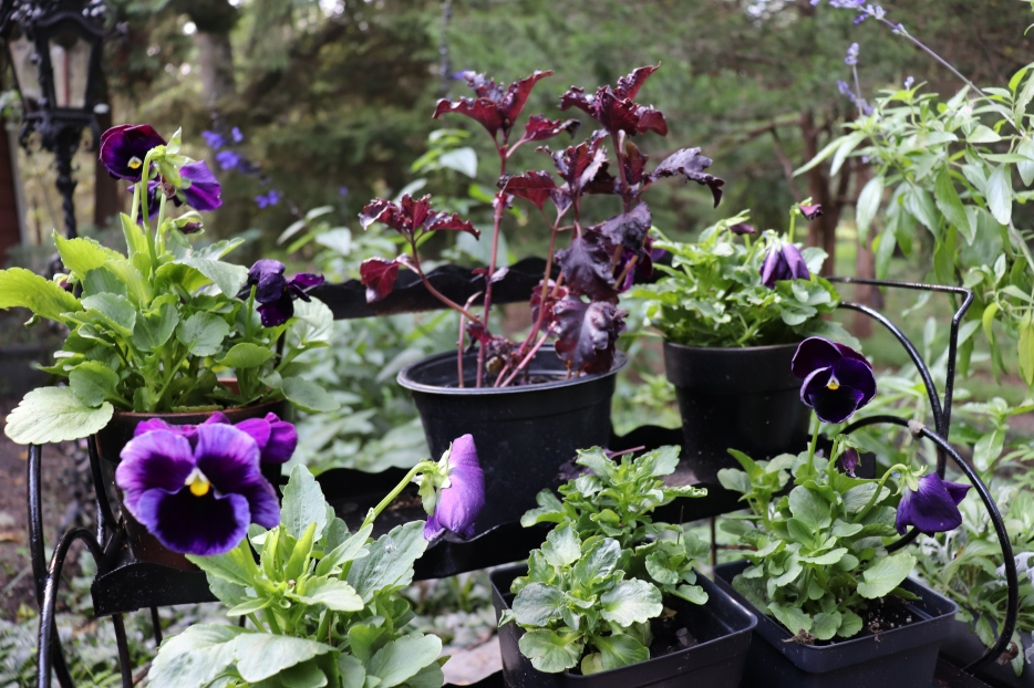 Purple ruffles basil and purple blotch pansies set on a DIY refurbished vintage plant shelf to add a special touch to a Gothic garden