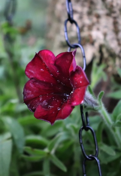 Blackened red Petunia in the Gothic Garden