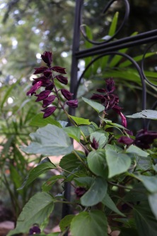 Gorgeous dark purple and wine plum colored blooms of a Salvia slendens, a favorite of hummingbirds
