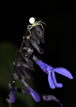 A crab spider hunting at night on a stunning Black and Bloom Salvia plant