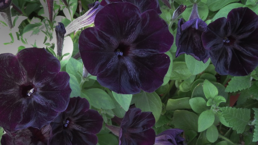 Easy grow black and purple velvet petunias in the Gothic Garden