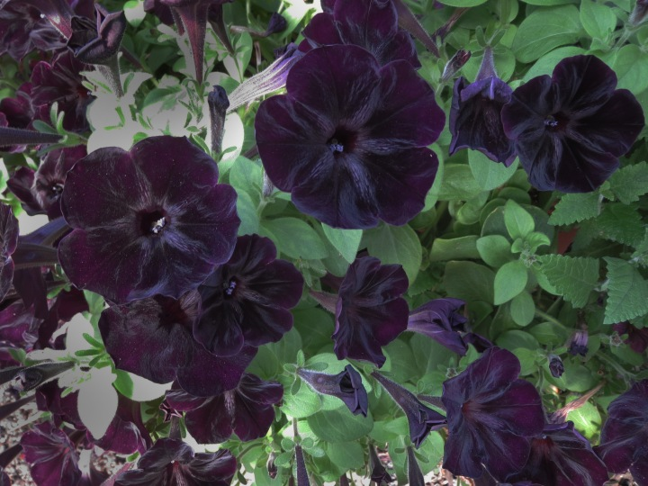 Black velvet petunias are a stunning addition to any Gothic garden