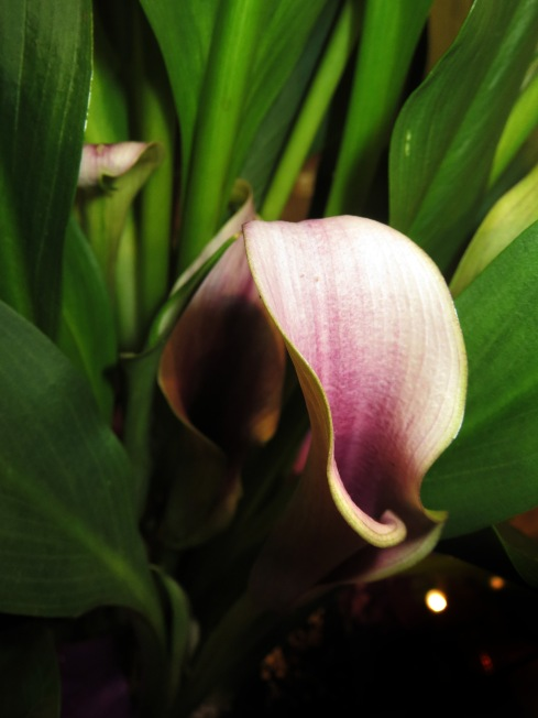 Calla lily are a beautiful complement to the Gothic Garden and come in a range of haunting colors