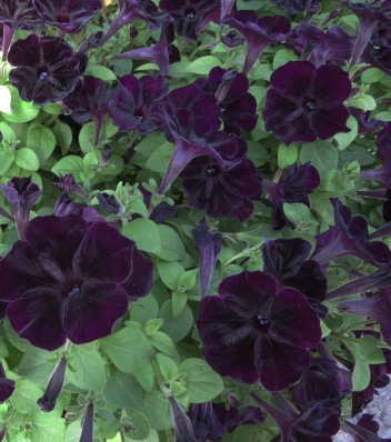 Dark purple petunias in the Gothic Garden