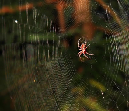 Orb weaver spider in the Gothic Garden