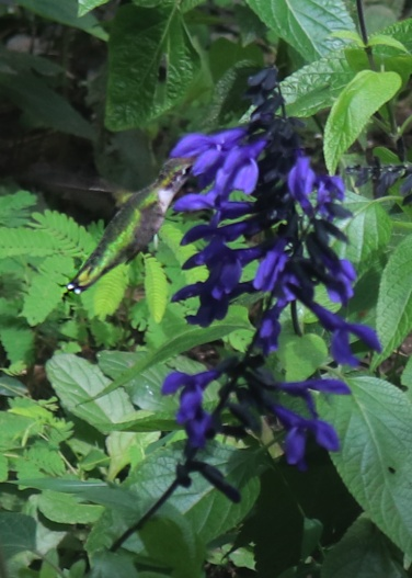 Hummingbird feeding on black and bloom Salvia in the Gothic Garden