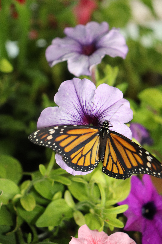 monarch 442.JPG