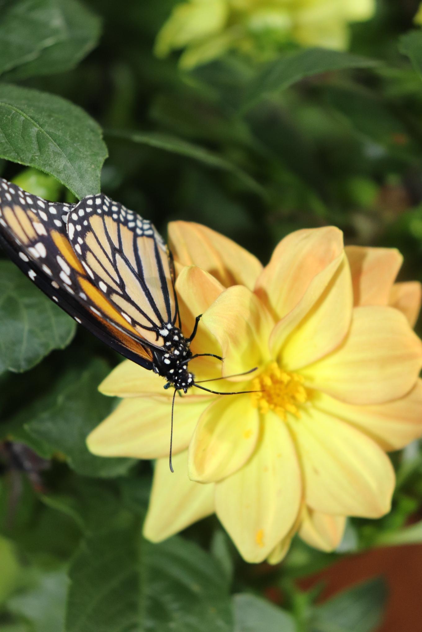 monarch 450.JPG