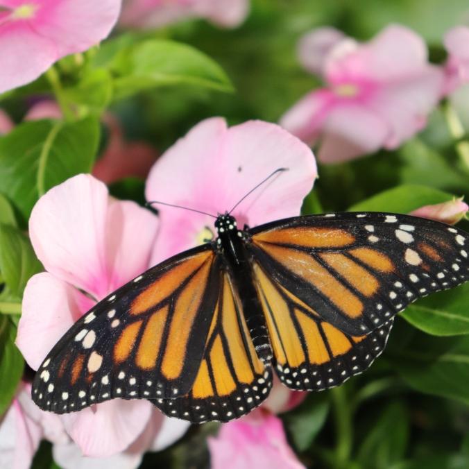 monarch 570